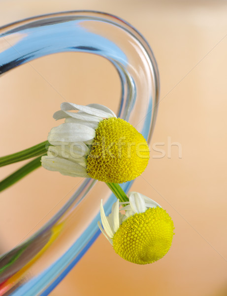 Camomile Flower Stock photo © ildi