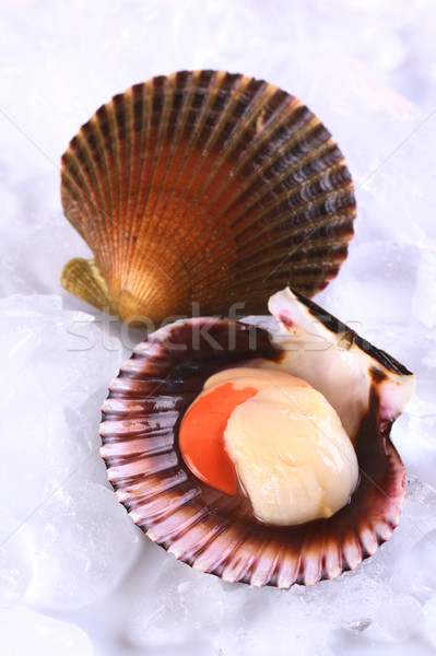 Raw Queen Scallop with a Colorful Scallop Shell on Ice Stock photo © ildi