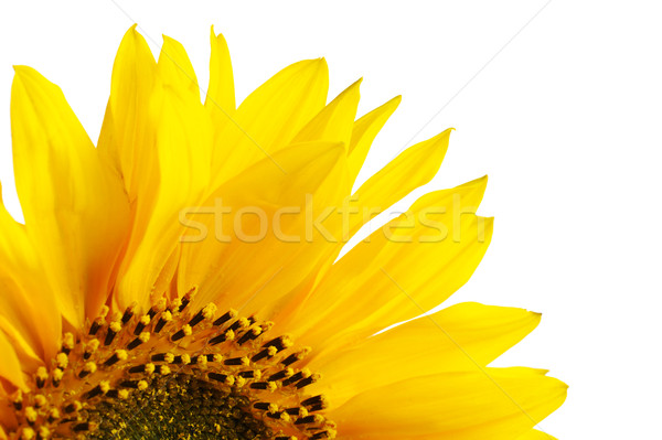 Sunflower Stock photo © ildi