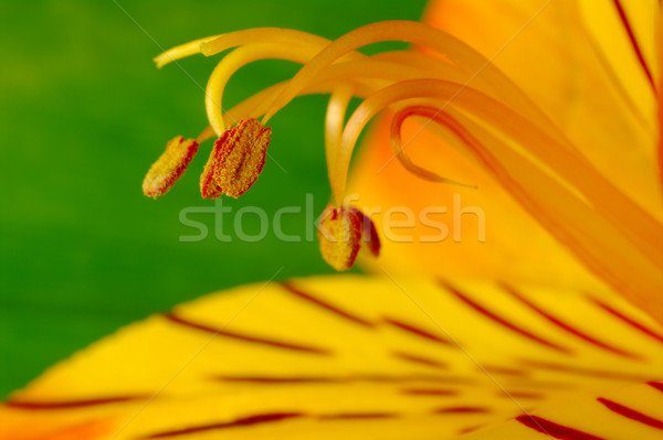 Pollen of Inca Lily (Macro) Stock photo © ildi