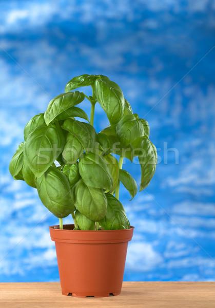 Sweet Basil in Plant Pot Stock photo © ildi