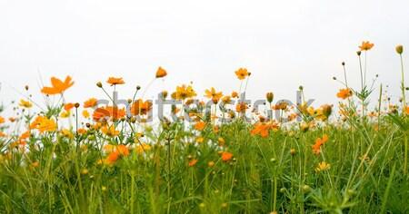 Forest of orange flowers Stock photo © ilolab