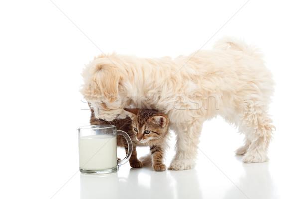 Cat and dog feeding together Stock photo © ilona75