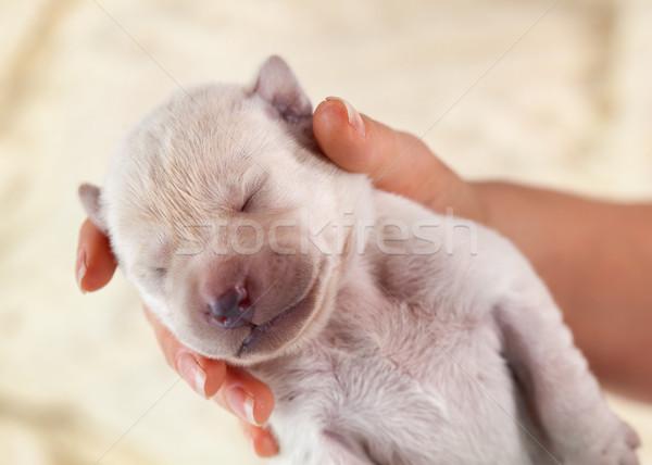 Recién nacido labrador cachorro perro mujer mano Foto stock © ilona75