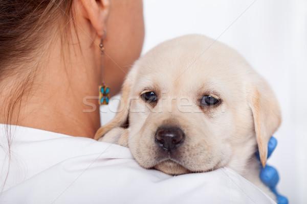 Labrador köpek yavrusu köpek bakıyor omuzlar kadın Stok fotoğraf © ilona75