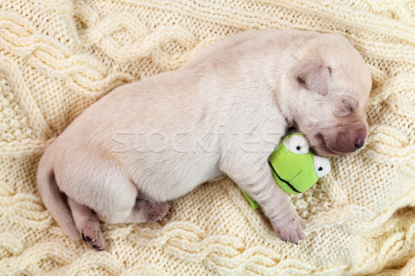 Newborn young labrador puppy dog sleeping and holding a small to Stock photo © ilona75
