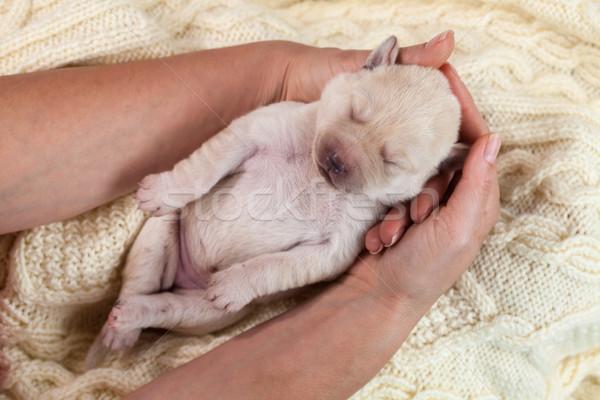 Kadın Labrador köpek yavrusu köpek Stok fotoğraf © ilona75