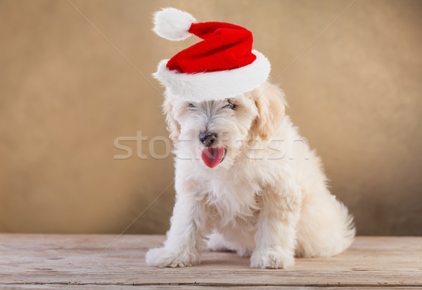 Doggy with santa hat Stock photo © ilona75