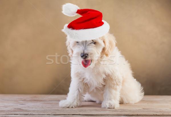 Cãozinho seis sessão cão Foto stock © ilona75