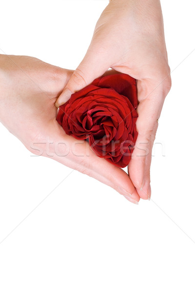 Woman hands shaping a rose heart Stock photo © ilona75