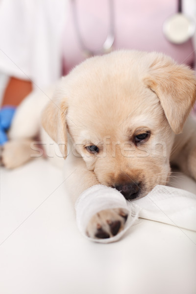 Young labrador puppy with bandage on its leg at the veterinary d Stock photo © ilona75