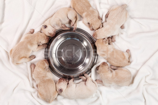 Cute newborn labrador puppy dogs sleeping around empty feeding b Stock photo © ilona75