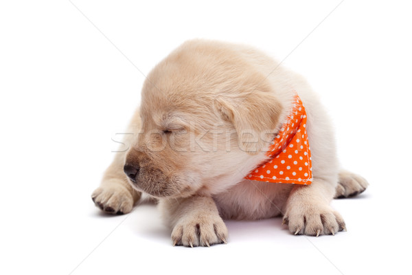 Sleepy labrador puppy dog barely holding its head - lying on whi Stock photo © ilona75