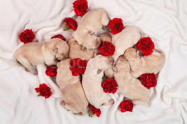 Yellow labrador puppy dog litter - newborn doggies with red carn Stock photo © ilona75