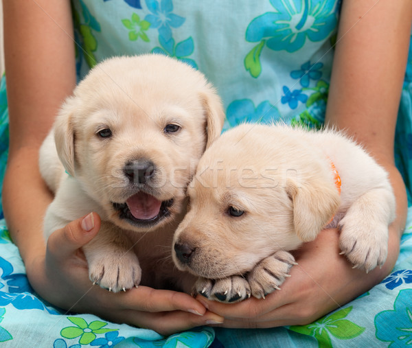 Two young labrador puppies in girl hands Stock photo © ilona75