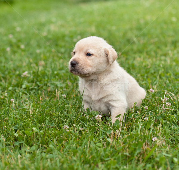 Młodych labrador szczeniak krótki chodzić Zdjęcia stock © ilona75