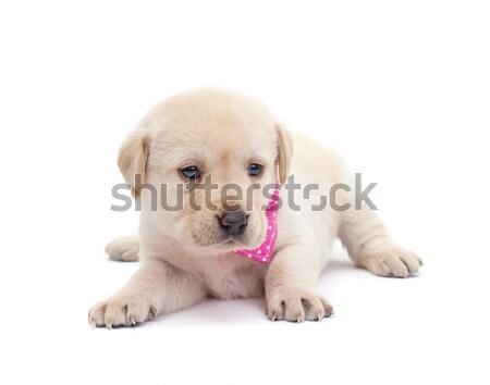 Adorável labrador cachorro cão olhando alertar Foto stock © ilona75