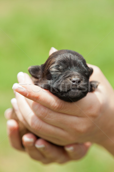 Sleeping puppy dog in woman hands Stock photo © ilona75