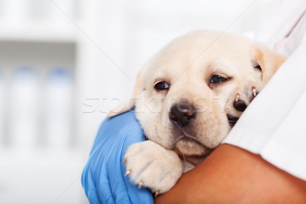 Jovem labrador cachorro cão brasão veterinário Foto stock © ilona75