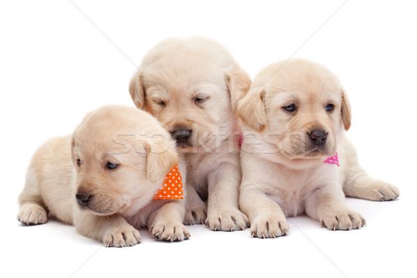 Foto stock: Três · labrador · cachorro · meninas · adorável