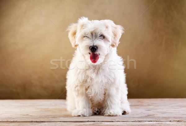Bolyhos díszállat kis kutya ül nyelv szem Stock fotó © ilona75