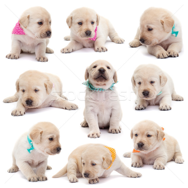 Labrador puppy dogs with colorful scarves in various positions o Stock photo © ilona75