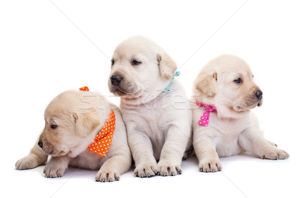 Cute labrador puppies on white background Stock photo © ilona75