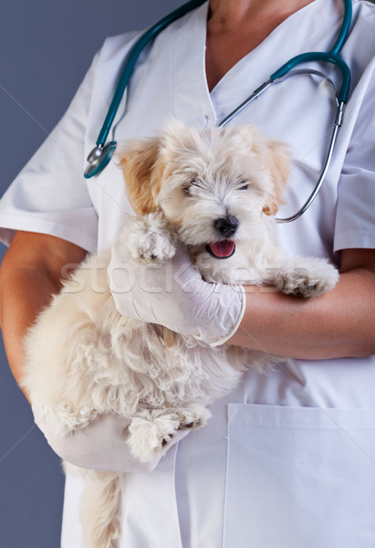 Veterinary care concept - little dog carried for examination Stock photo © ilona75