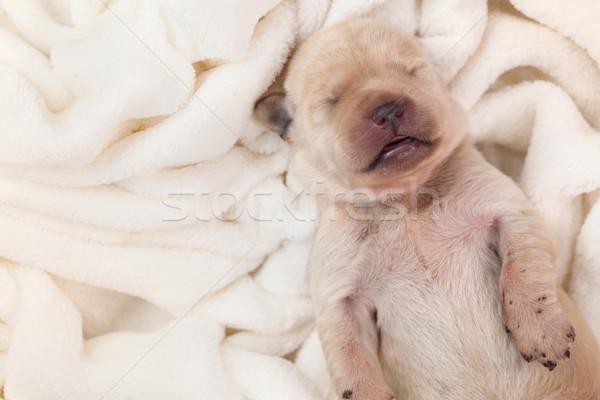 ストックフォト: 小さな · ラブラドル · 子犬 · 犬 · 寝