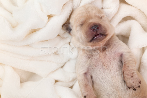Stockfoto: Pasgeboren · jonge · labrador · puppy · hond · slapen