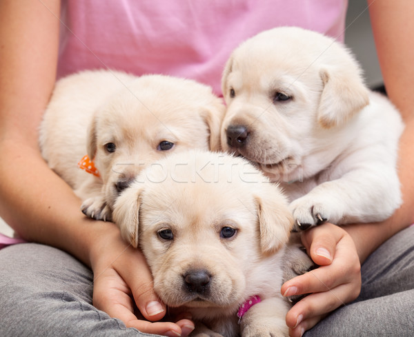 Young girl holding three adorable labrador puppies in her lap Stock photo © ilona75