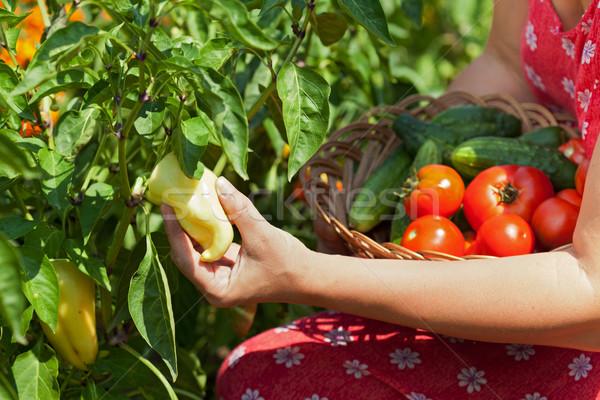 Woman picking fresh vegetables in the garden - closeup Stock photo © ilona75