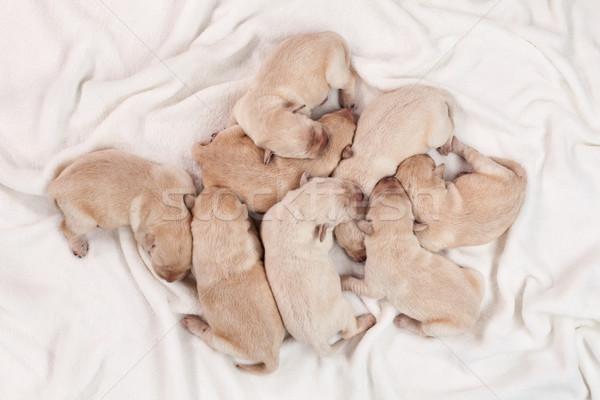 Acht pasgeboren Geel labrador puppy honden Stockfoto © ilona75