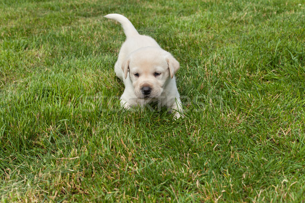 Young labrador puppy in the grass Stock photo © ilona75