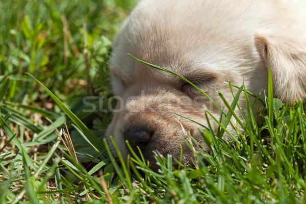 Foto stock: Jovem · labrador · cachorro · grama