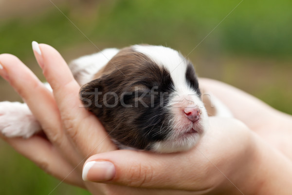 Newborn puppy dog in woman hands Stock photo © ilona75