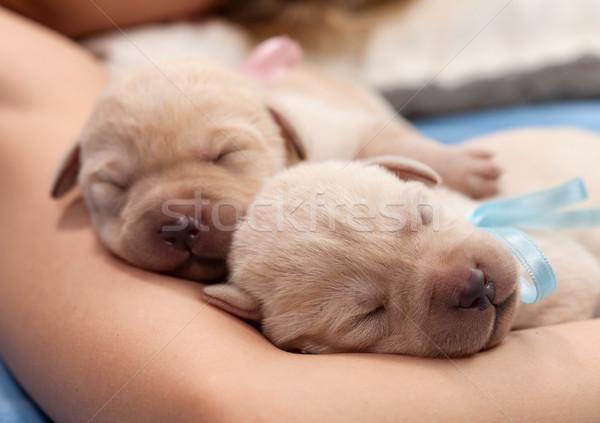 Adorable jaune labrador chiot chiens dormir Photo stock © ilona75