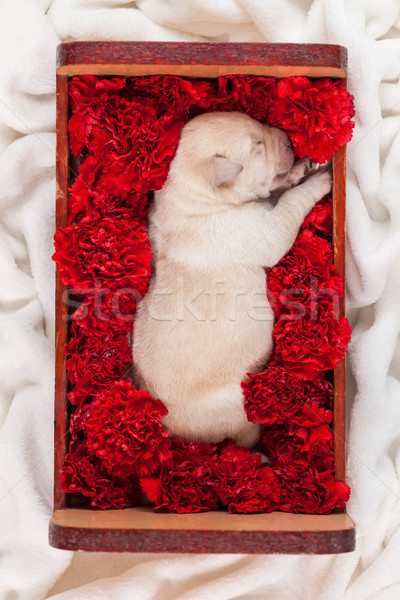 Cute labrador puppy dog sleeping in a box with flowers Stock photo © ilona75