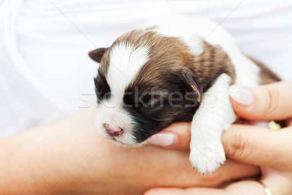 Small puppy dog in woman hand Stock photo © ilona75