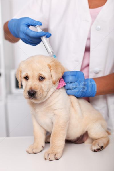 Sevimli Labrador köpek yavrusu köpek üzücü yüz Stok fotoğraf © ilona75
