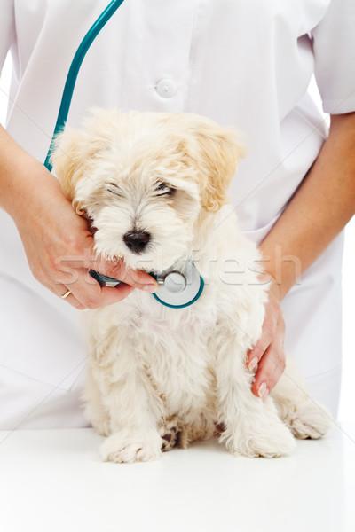 獣医 ケア 小 ふわっとした 犬 健康 ストックフォト © ilona75