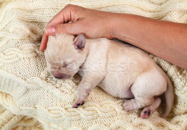 Newborn young yellow labrador puppy dog resting on woolen sweate Stock photo © ilona75