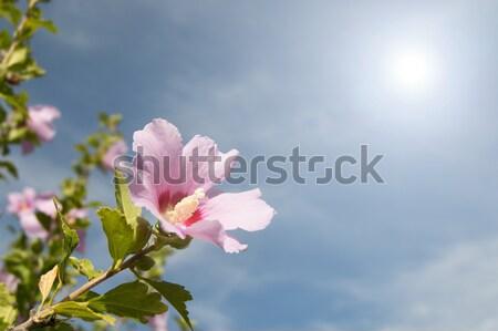 Flor rosa primavera árbol naturaleza belleza Foto stock © Imaagio
