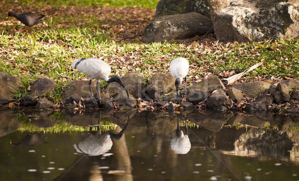 Avustralya beyaz iki su arka plan siyah Stok fotoğraf © Imagecom