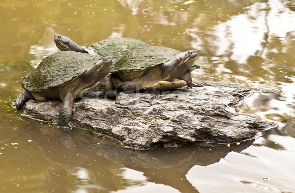 Iki güzel kaplumbağalar nehir su doku Stok fotoğraf © Imagecom