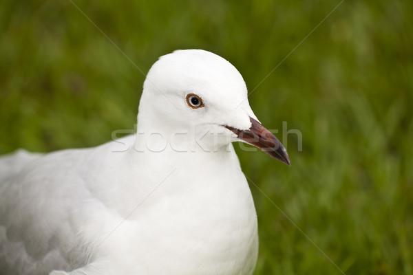 Snow white seagull Stock photo © Imagecom