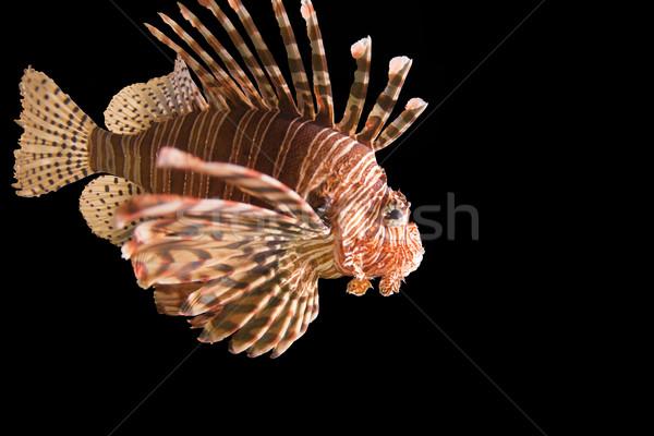Aslan balık siyah su kırmızı sualtı Stok fotoğraf © Imagecom