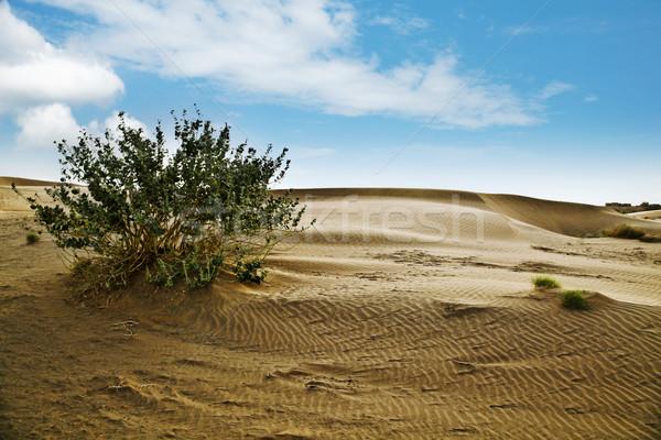 Plant growing on sand dune, Jaisalmer, Rajasthan, India Stock photo © imagedb