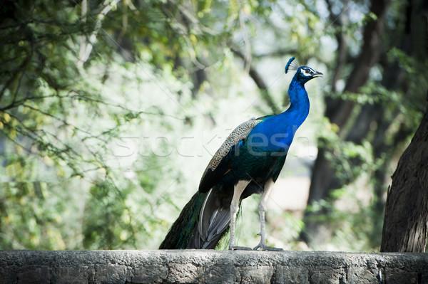 Peacock, Sohna, Haryana, India Stock photo © imagedb