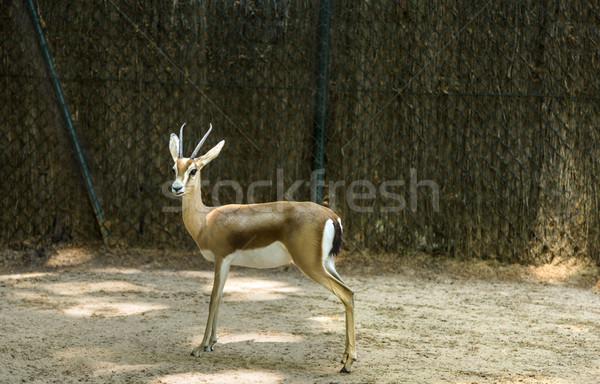 Gazelle in a zoo Stock photo © imagedb